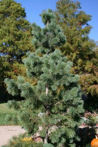 pyramidal evergreen with blue green needles